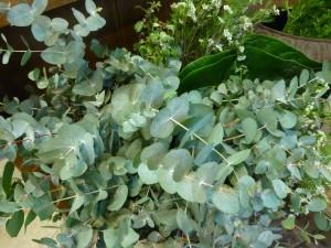 De belles feuilles d'eucalyptus © Bettina Aykroyd