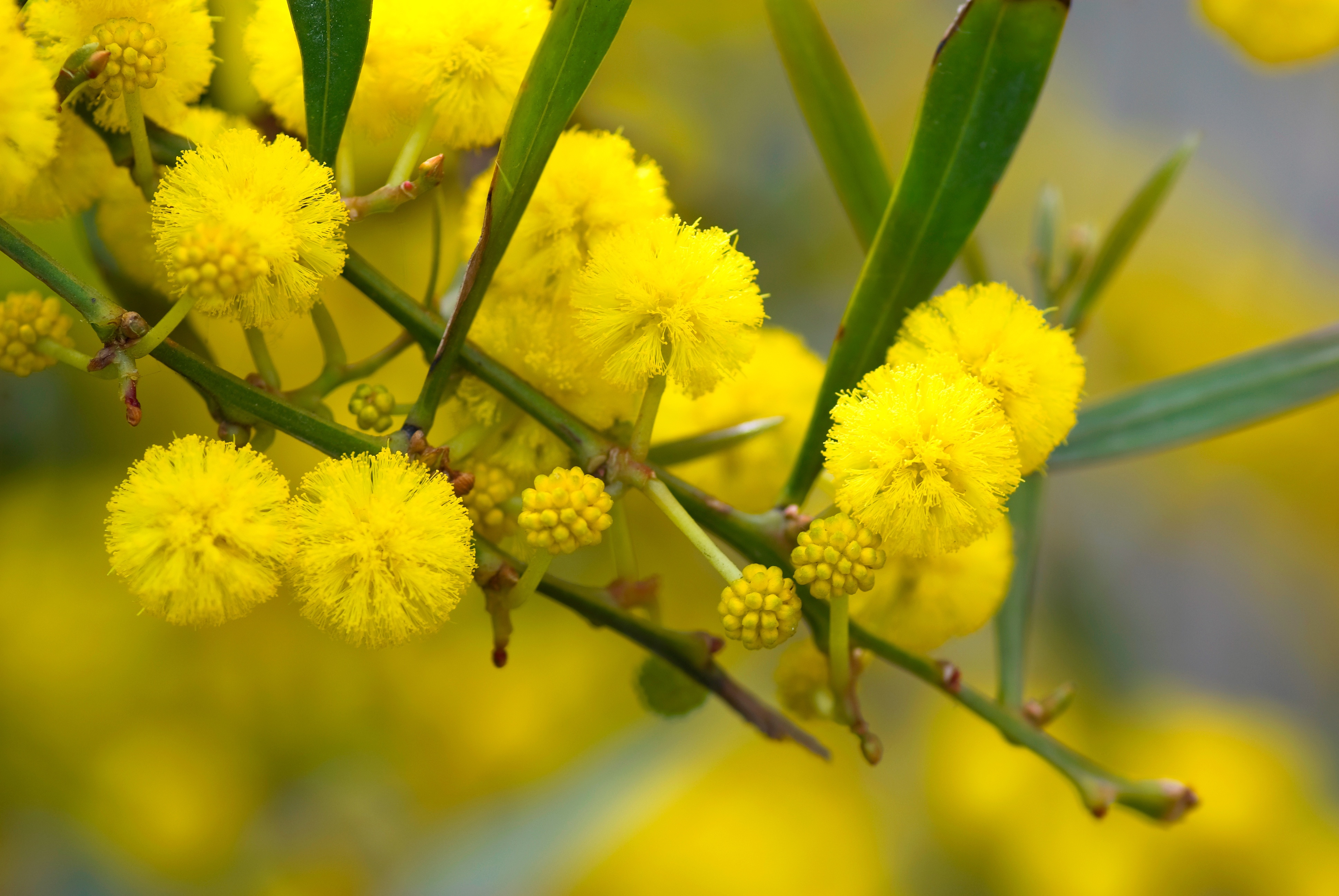 Le mimosa, un rayon de soleil et de douceur