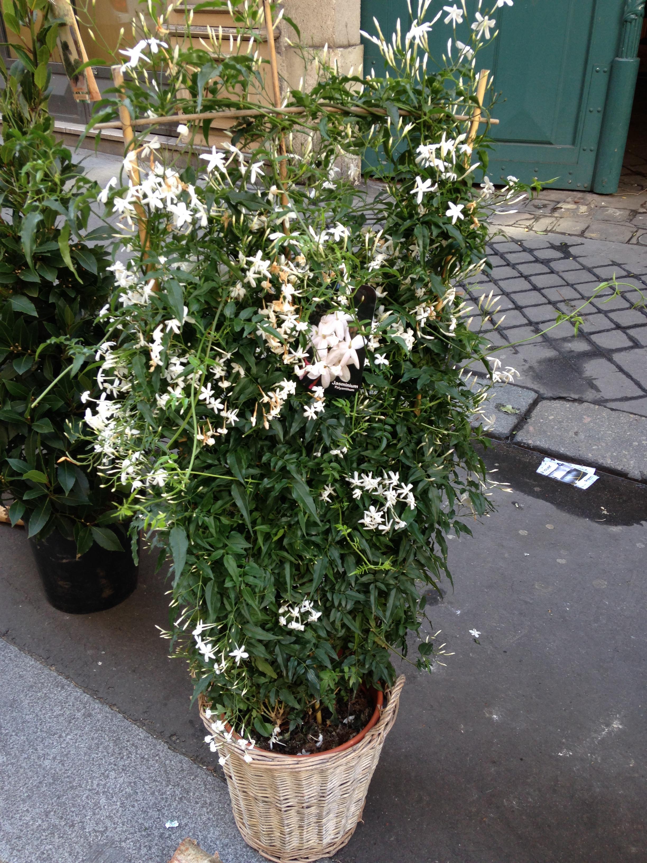Le jasmin et les parfumeurs