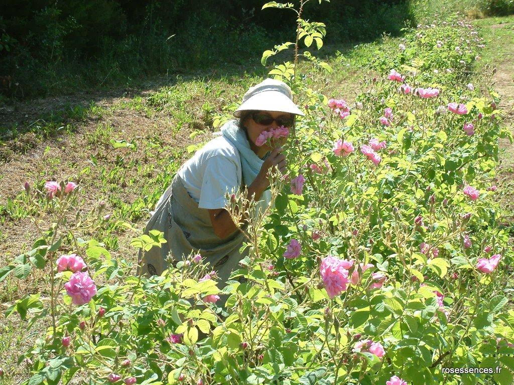 Cueillir la rose à Grasse ce weekend, une belle expérience !