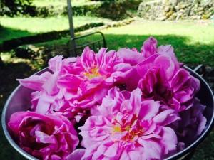 Des roses de mai