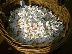 ©Ooh collective, Fleurs de jasmin