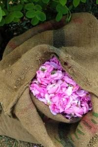 roses-de-grasse1_1sm