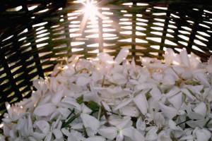 Un beau panier rempli de fleurs de jasmin avec la lumière du matin © Robertet