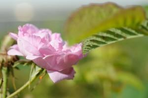 La rose Centifolia !