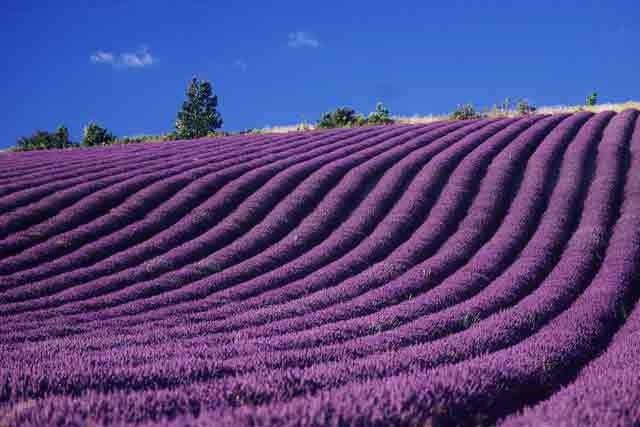 Les routes de la lavande faire le tour du monde en parfums - Entretien de la lavande ...