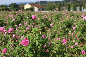 rose-de-grasse-1