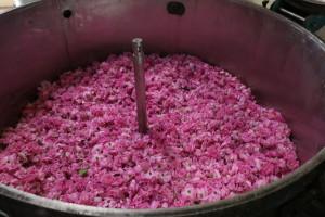 extracteur-de-rose-payan-bertrand-rose-de-grasse