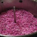 Une nouvelle histoire autour de la rose de Grasse