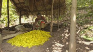 Séchage des fleurs d'ylang-ylang @ZED