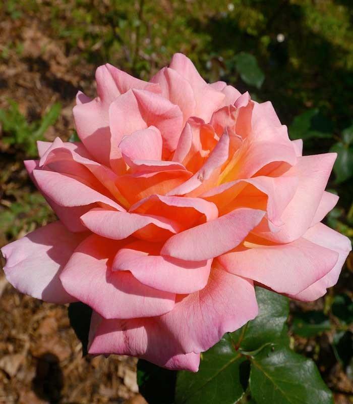 Rose Gerald Van der Kemp