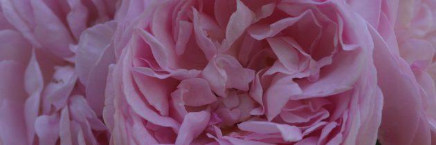 Une rose Gerald Van der Kemp à Giverny